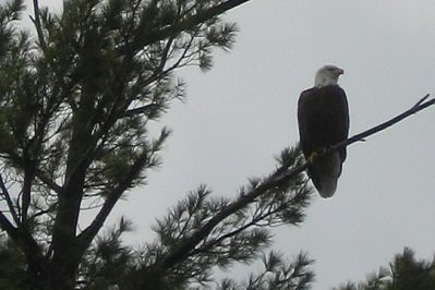 Big Blue Lake Bald Eagle