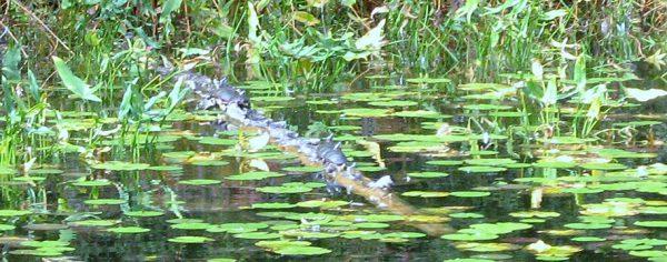 Big Blue Lake Turtles